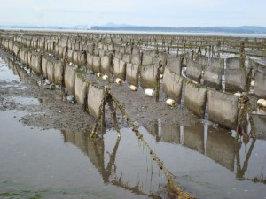 oyster growing