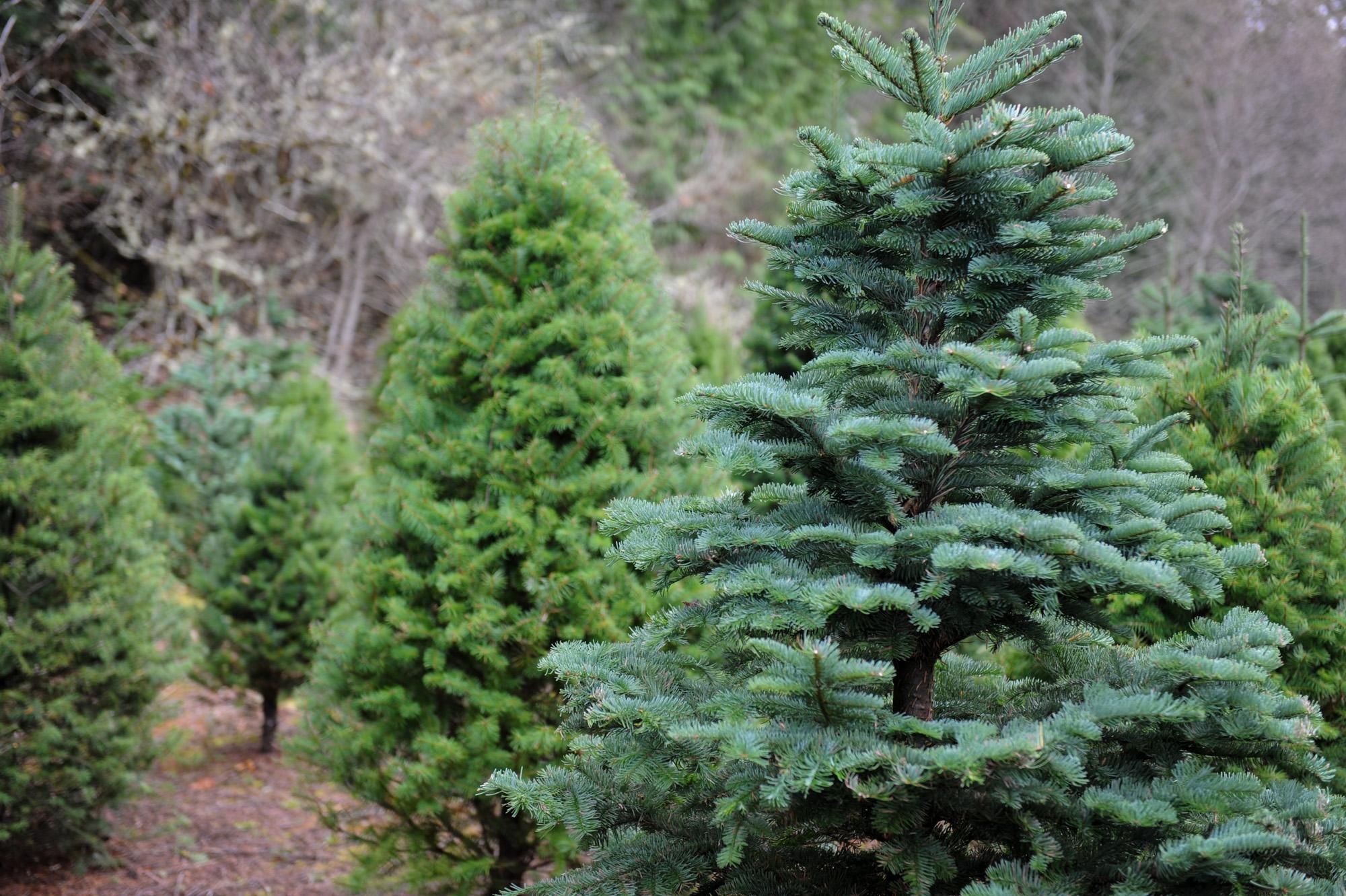 olympia christmas tree