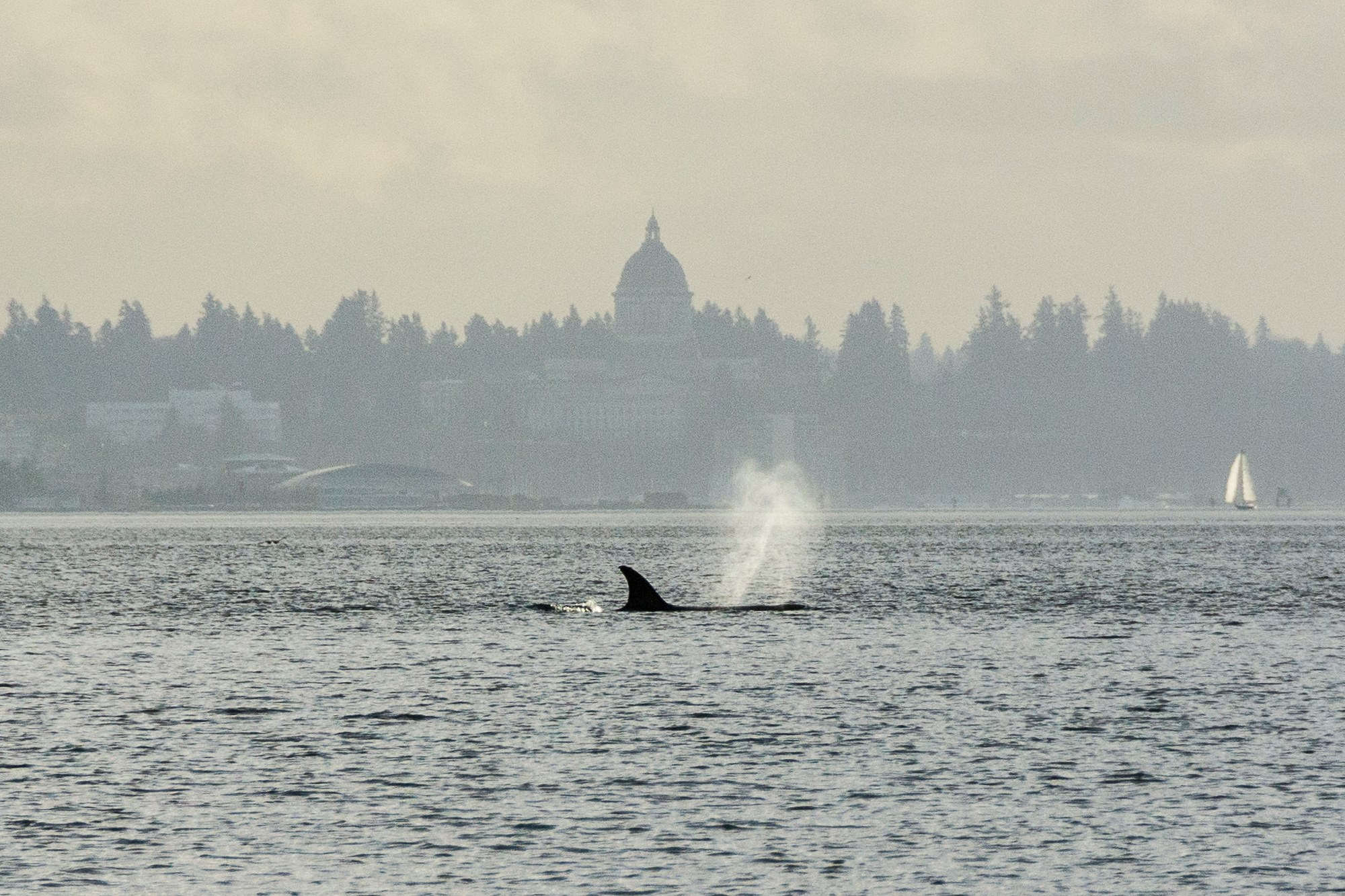 orca whale olympia