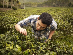James inspects tea leaves at a rural farm in Taiwan during one of his trips to source quality ingredients. Photo Credit: Neil Buckland