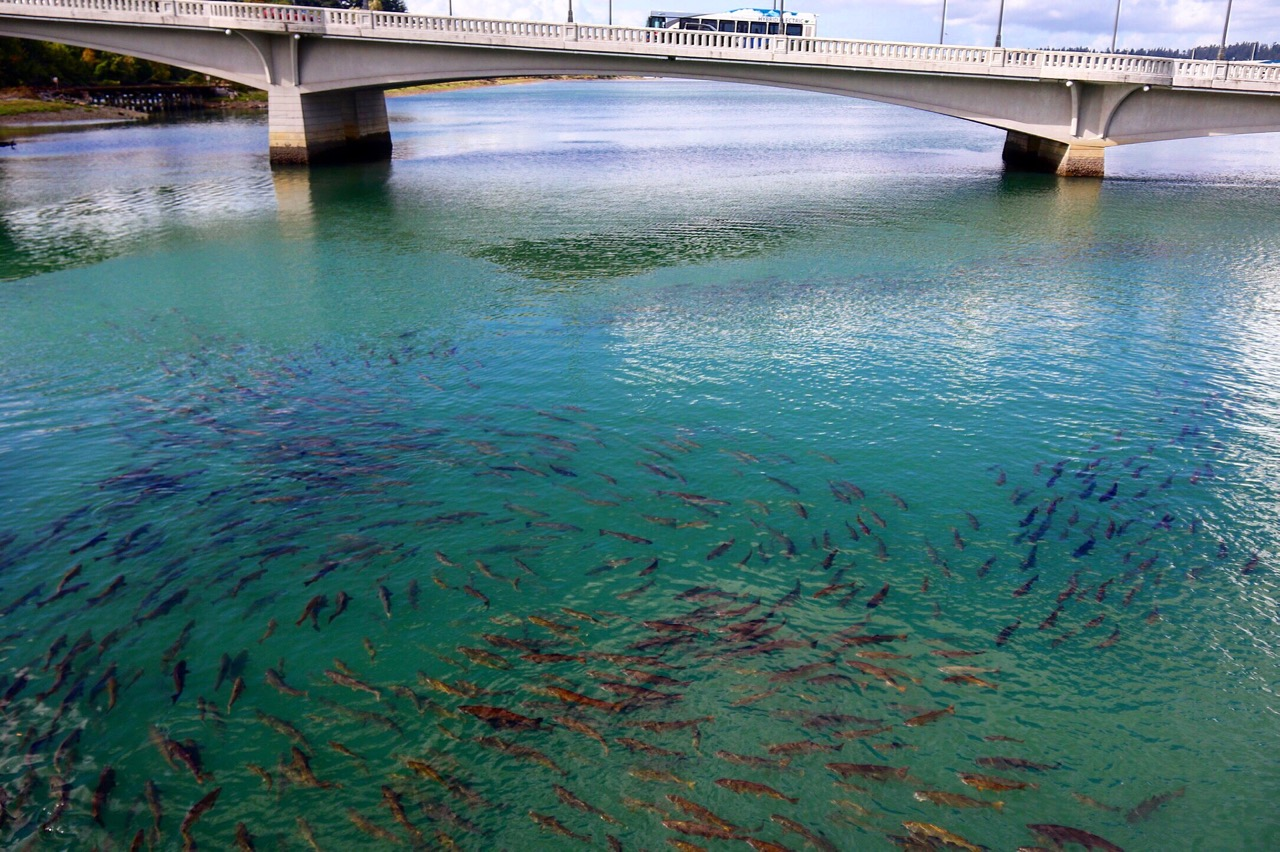 olympia salmon migration