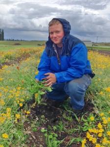 Veteran Conservation Corps member Matthew Smith weeding Oregon sunshine at Violet Prairie seed farm. Photo credit: Matthew West