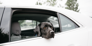 Marshal the Courthouse Dog will be taking the first Uber ride in Olympia with the mayors of Lacey, Yelm, Tumwater and Olympia. Photo courtesy: Target Zero Program