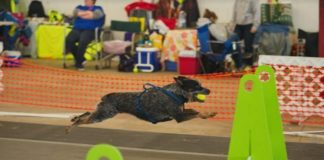flyball puget hounds