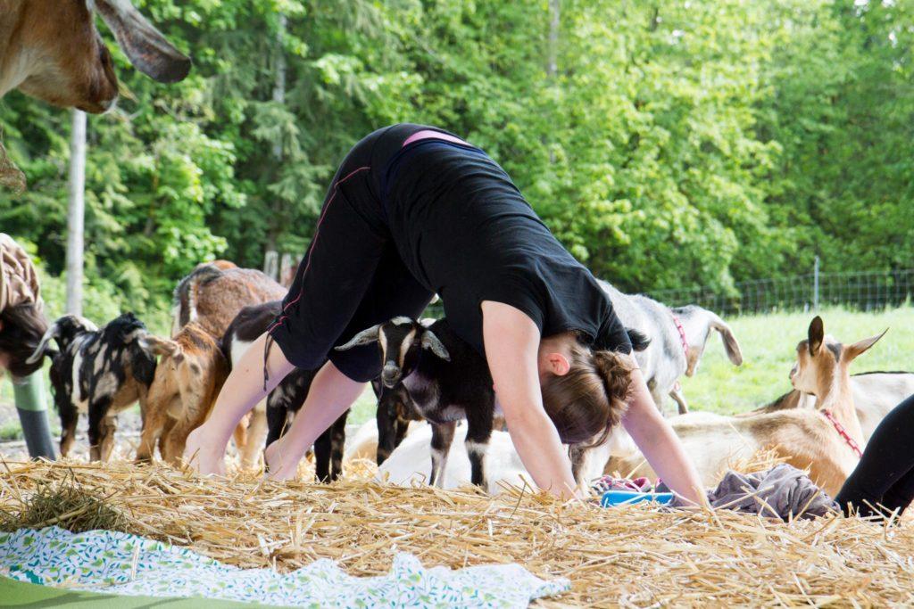 Goat yoga oly