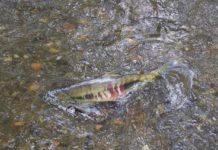 mclane salmon