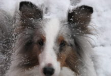Kristina Lotz Skye Dog Sheltie