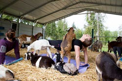 Baby Goat & Mini Pig Yoga @ Lost Peacock Creamery | Olympia | Washington | United States
