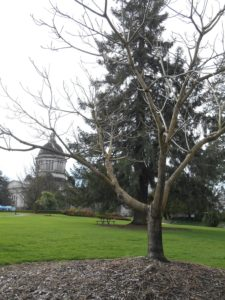 George Bush Butternut Tree Olympia