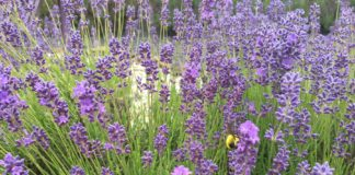 Evergreen Valley Lavender Farm 10