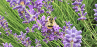 Evergreen Valley Lavender Farm 13