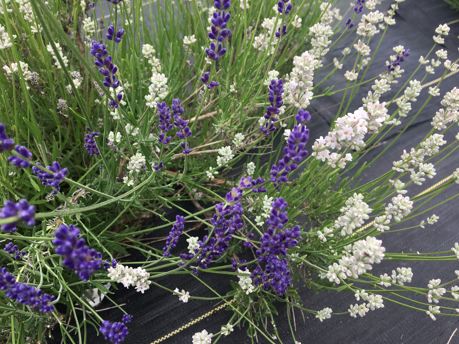 Take a Walk in the Purple at Evergreen Valley Lavender Farm - Open