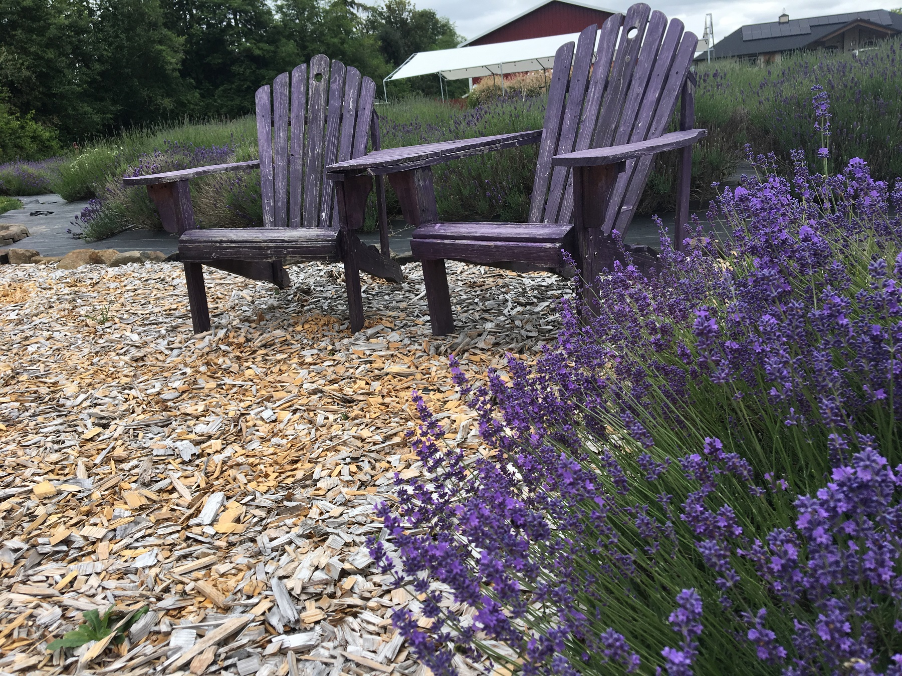 Take a Walk in the Purple at Evergreen Valley Lavender Farm