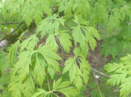 SPSCC Japanese Maples green