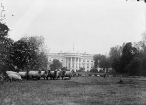White House Sheep