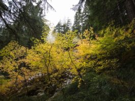 Fall Leaves in Thurston County