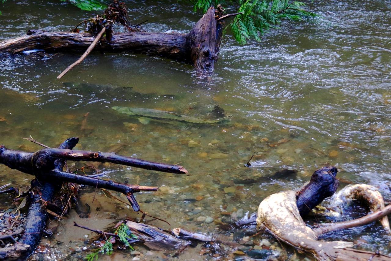 McLane Creek Salmon