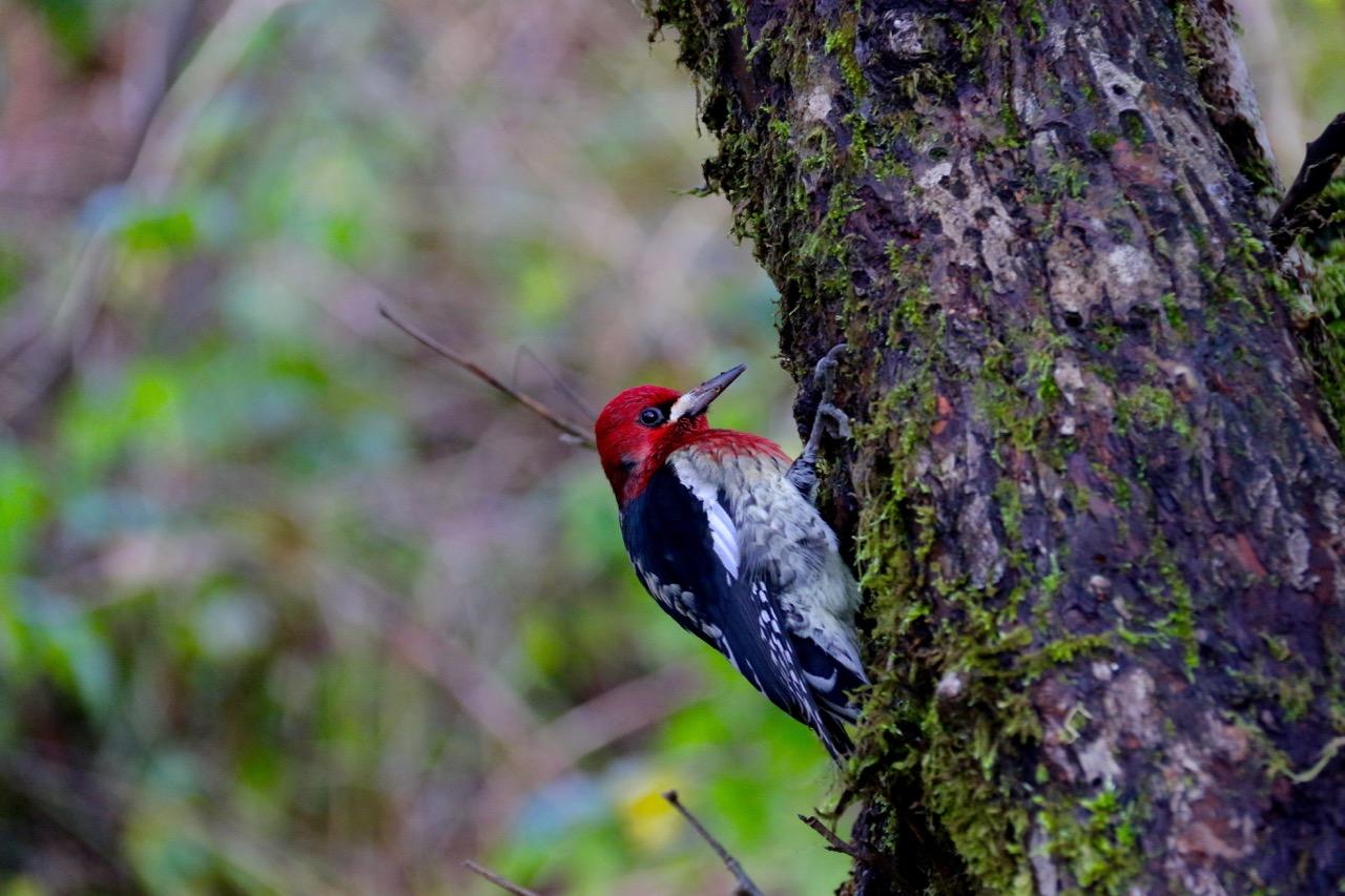 McLane Creek Woodpecker