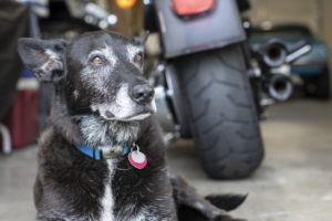 Olympia Motorcycle Tires Bo the Shop Dog