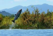 Salmon Jumping Skokomish River