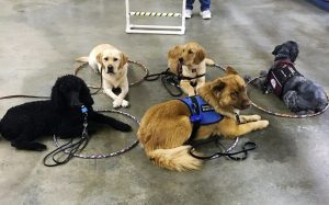Dogs practicing down stays