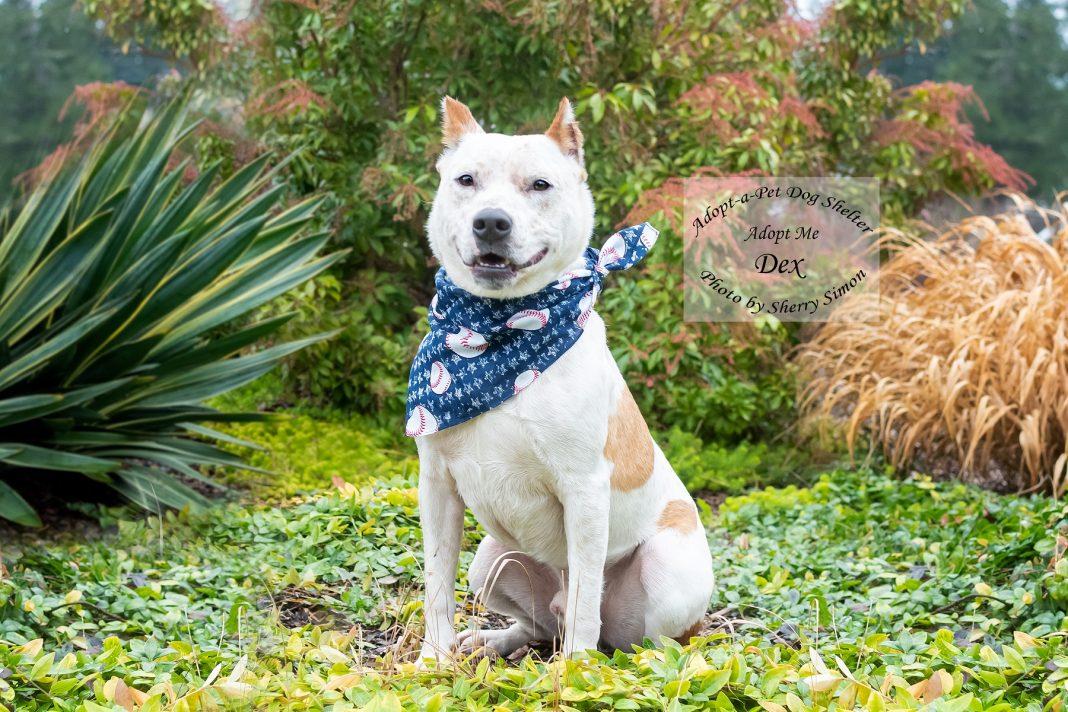 Adopt A Pet Dex Dog of the Week