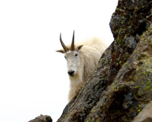 Mount Ellinor Mountain Goat