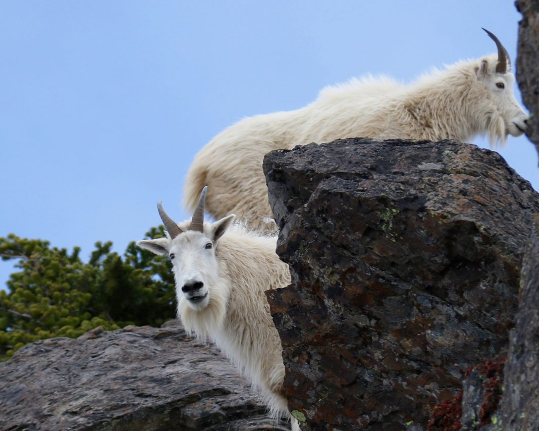 Mountain goats in the Olympics
