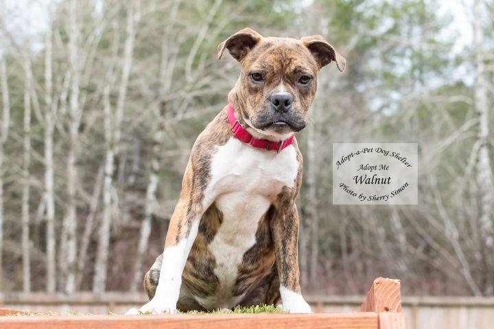 Adopt A Pet dog of the week Walnut