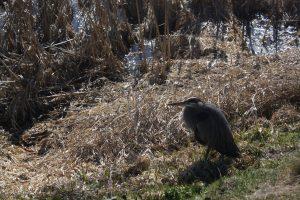 Nisqually blue heron