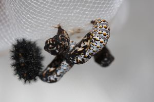 The Evergreen State College SPP Butterflies Pupae