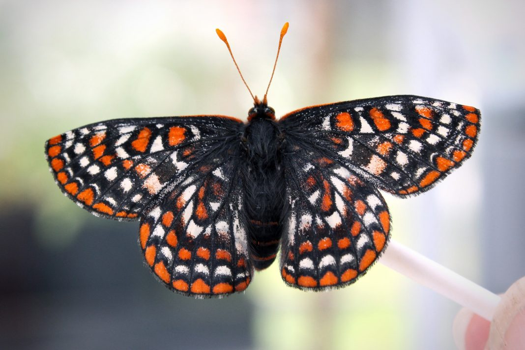 The Evergreen State College SPP Butterflies Taylor's Checkerspot Butterfly