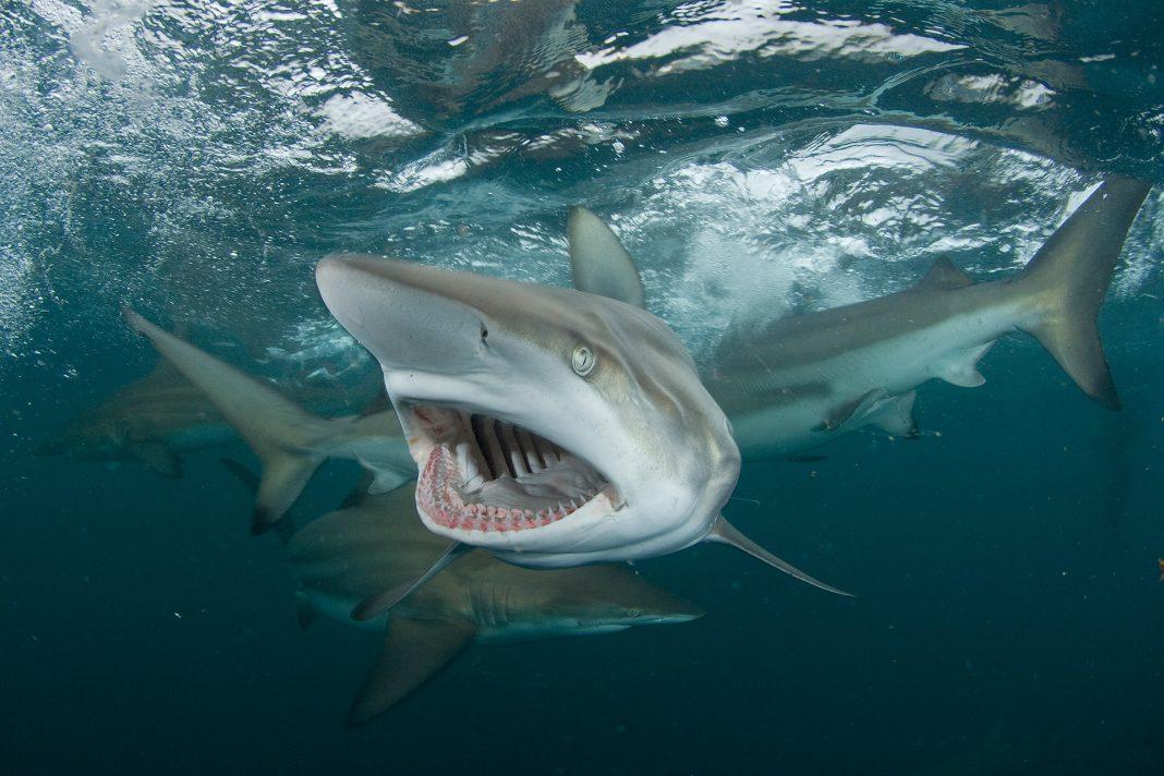 The Washington Center Peschak Gaint shark snout and mouth