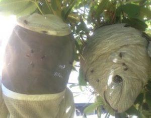 Cascadia Zach and hornets