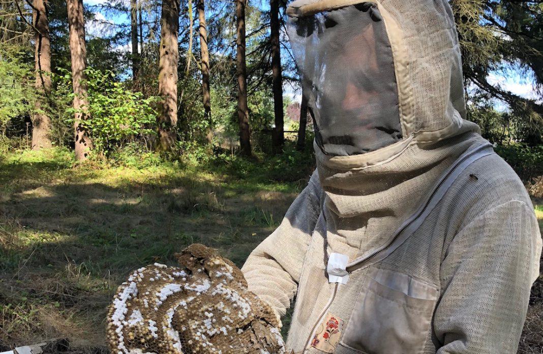 Cascadia and yellowjacket nestCascadia and yellowjacket nest