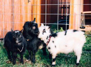 Sequoias Treehouse goats