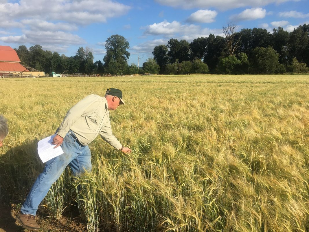 WSU barley farm to table