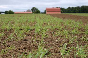 WSU barley locally grown