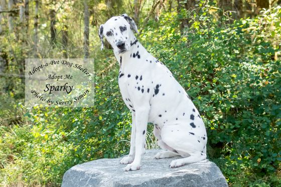 Adopt A Pet Dog of the Week Sparky