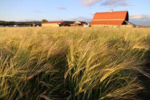 Port of Olympia barley WSU barley