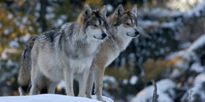 Coastal Wolves: A Story of Resilience @ WET Science Center