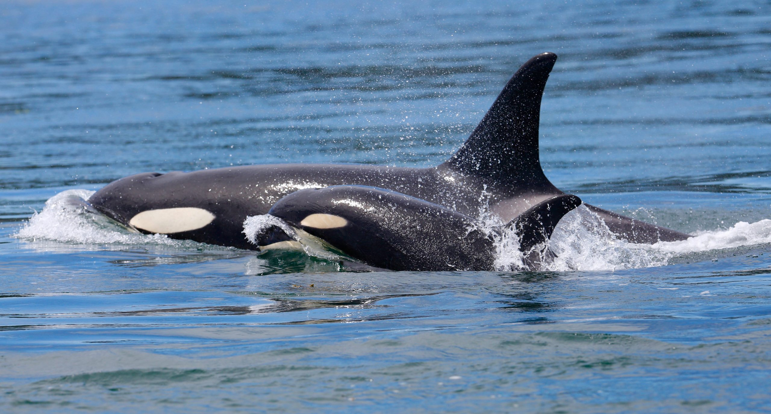 At Home Science: Show Orcas Love with the WET Science Center - ThurstonTalk