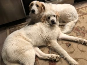 great pyrs rescue muffy and Barbie
