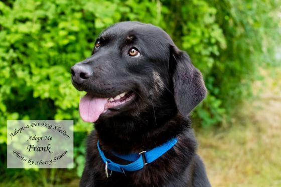 adopt a pet dog of the week Frank