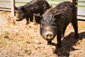 Sequoias-Farm-School-Animal-Homesteading-learning-Olympia