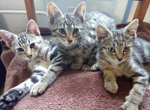 Volunteer Thurston County Animal-Services-Cats